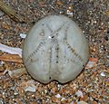 Unid sea urchin shell - Flickr - S. Rae.jpg