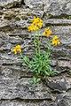 Unidentified plant in Estaing 04.jpg