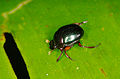 Unknown beetle (14333401550).jpg