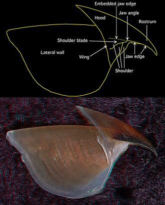 Cephalopod beak - Image: Upper beak Chiroteuthis picteti side view