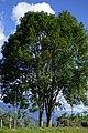 Urapán (Fraxinus uhdei) (14436638841).jpg