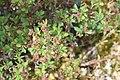 Vaccinium uliginosum in Jardin Botanique de l'Aubrac.jpg
