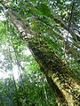 Vegetación de la Reserva de la Biosfera La Amistad Panama (RBLAP) 21.JPG