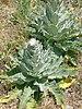 Verbascum sp.003 - Ponferrada.jpg