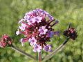 Verbena bonariensis (111).jpg