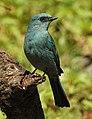 Verditer Flycatcher Eumyias thalassinus by Dr. Raju Kasambe DSCN2658 (5).jpg