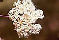 Viburnum prunifolium 6zz.jpg