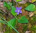Viola reichenbachiana in Aveyron (3).jpg
