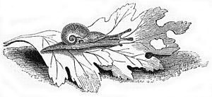 Vitrinidae - Drawing of a live Vitrina pellucida