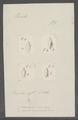 Voluta marginata - - Print - Iconographia Zoologica - Special Collections University of Amsterdam - UBAINV0274 087 04 0050.tif