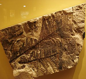 English: Fossil of Walchia an extinct plant