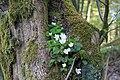 Waldsauerklee im Baum im Naturschutzgebiet Waldreservat Schanze.jpg