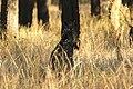 Wallabia bicolor (32489139936).jpg