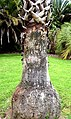 Washingtonia robusta in Auckland Botanic Gardens 01.jpg