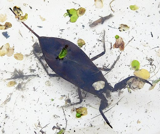 a Water Scorpion is swimming