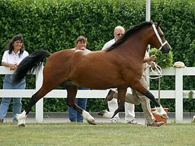 Poney Welsh de type cob bai, au trot