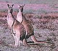 Western grey kangaroos.jpg