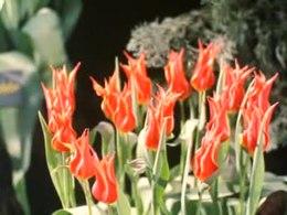 Bestand:Westfriese Flora-514820.ogv