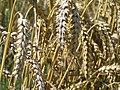 Wheat field - geograph.org.uk - 915900.jpg