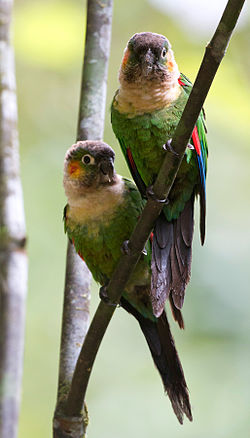 White-breasted Parakeets (Pyrrhua albipectus).jpg