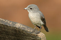White-eyed slaty flycatcher.jpg