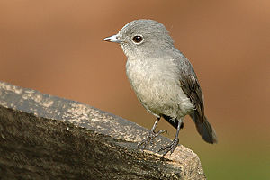 Old World flycatcher - White-eyed slaty flycatcher, Melaenornis fischeri
