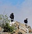 White-necked Ravens (Corvus albicollis) (32662855122).jpg