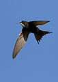 White-rumped swift, Apus caffer, at Suikerbosrand Nature Reserve, Gauteng, South Africa (23352952565).jpg
