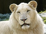 White lions owe their coloring to a recessive gene; they are rare forms of the subspecies Panthera leo krugeri
