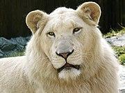 180px-White_Lion