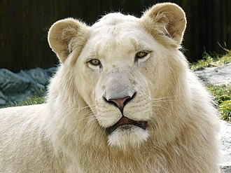 Leucism - Leucistic white lions owe their colouring to a recessive allele.  Note the eyes and lips remain the normal colour.