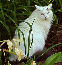White Maine Coon.jpg
