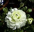 White Ranunculus - Flickr - Swami Stream.jpg