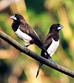 White Rumped Munia.jpg