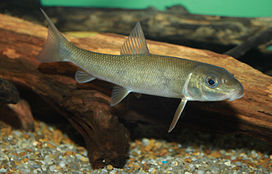 White Sucker, Catostomus commersonii.jpg