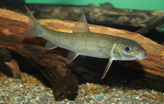 Catostomidae - White sucker, Catostomus commersonii