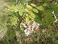 White acacia flowers in green leaves.jpg