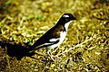 White browed sparrow weaver baringo.jpg