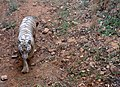 White tiger at IGZoo park 01.jpg