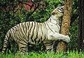 White tiger hug.jpg