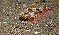 Whiteface Waspfish (Richardsonichtys leucogaster) (8465757924).jpg