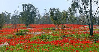 Anemone coronaria - Red carpet of Anemone coronaria flowers in Shokeda Forest, Israel, 2012. The vast red carpets of anemones have become a major tourist attraction of the northern Negev region of Israel in recent years.