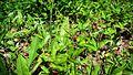 Wild Strawberry in Elatia forest - 1.jpg