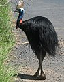 Wild cassowary walking at Mission Beach IMG 3933.jpg
