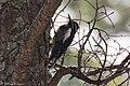 Williamson's Sapsucker (male) Forest Rd 42 Loop Chiricahuas Portal AZ-71 (35488360890).jpg