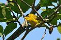 Wilson's Warbler - Wilsonia pusilla.jpg