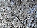 WinterInterestCrepeMyrtle01.jpg