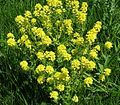 Winter Cress, Garden Yellowrocket, Yellow Rocket (Barbarea vulgaris) - Flickr - Jay Sturner.jpg
