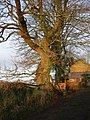 Winter sunshine on beech trees, Little Sheepsbyre. - geograph.org.uk - 300125.jpg