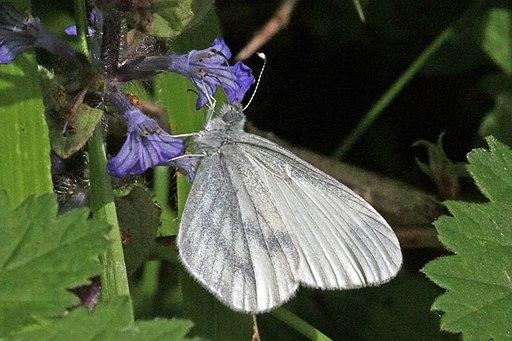 Wood white (Leptidea sinapis) male